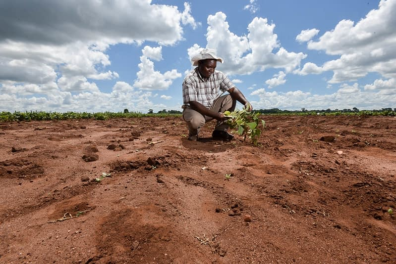 A farmer inspects a drought-tolerant bean plant on a trial site in Malawi. (Photo: Neil Palmer/CIAT)