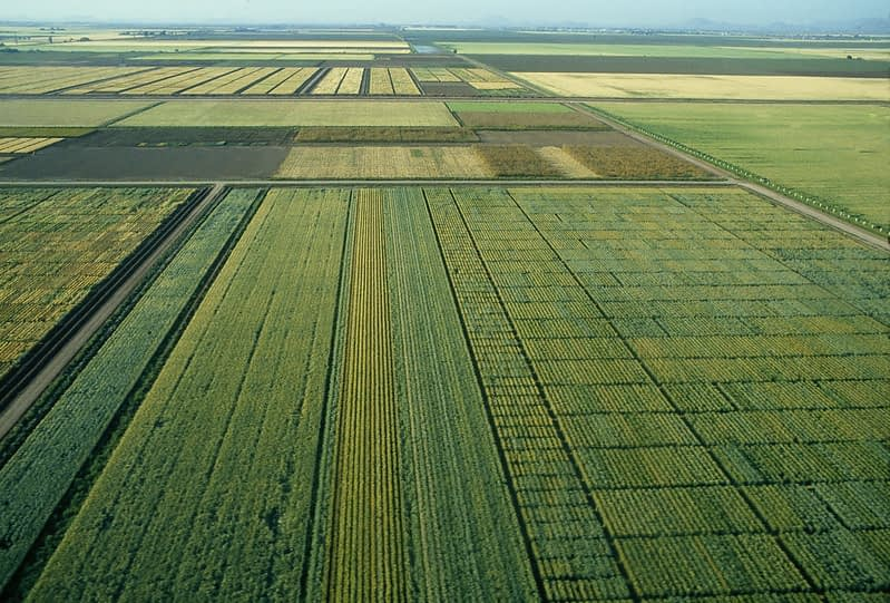 Wheat fields at CIMMYT's Campo Experimental Norman E. Borlaug (CENEB) in Ciudad Obregón, Mexico. (Photo: CIMMYT)