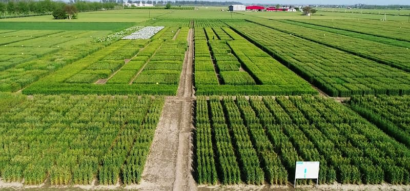 Wheat grows under a systematic intensification approach at the Borlaug Institute for South Asia (BISA) in India. (Photo: BISA)