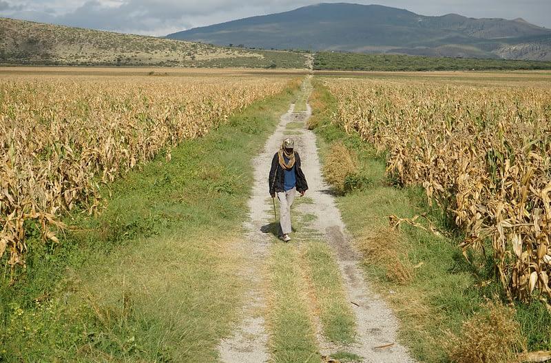 A farmer walks through a maize field in Toga village, Hawassa, Ethiopia. (Photo: Peter Lowe/CIMMYT)