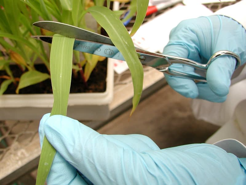 A CIMMYT technician cuts a leaf sample for DNA extraction. (Photo: CIMMYT)