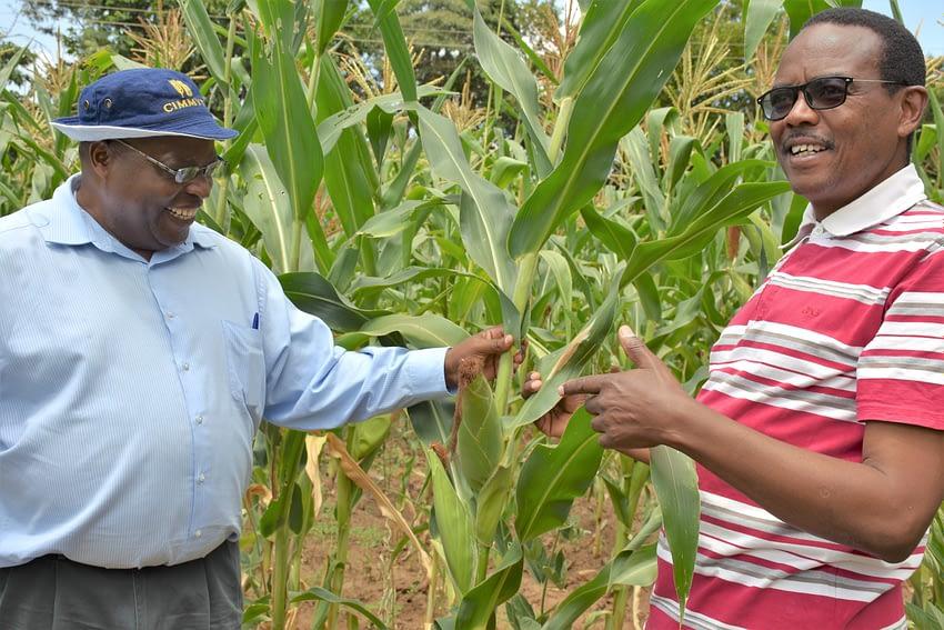 Farmer Gitau Gichuru (right) shows maize from his farm to CIMMYT's regional representative for Africa, Stephen Mugo. Gichuru planted SAWA hybrid maize, developed by CIMMYT scientists. (Photo: Joshua Masinde/CIMMYT)
