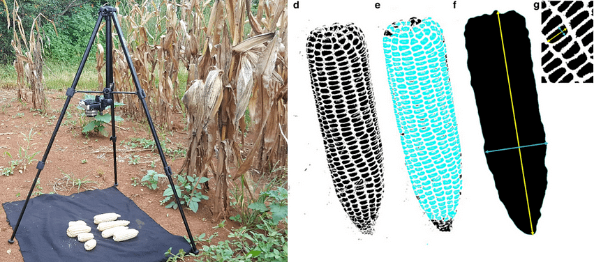 Measuring maize attributes such as ear size, kernel number and kernel weight is becoming faster and simpler through digital imaging technologies.