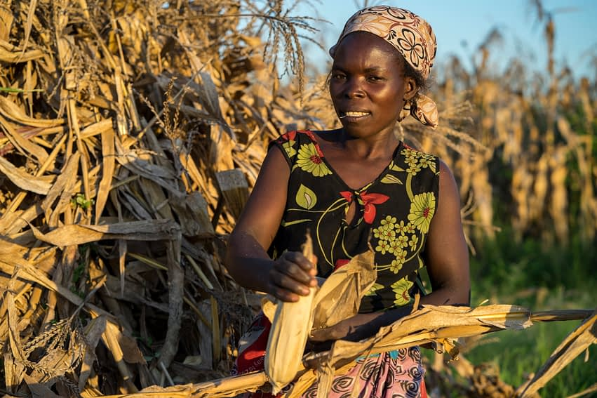 SIMLESA lead farmer Agnes Sendeza harvests maize cobs from a stook on her farm in Tembwe, Salima district, Malawi. (Photo: Peter Lowe/CIMMYT)