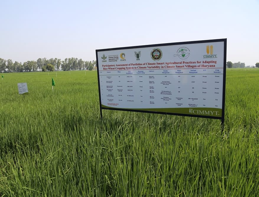 Participatory experimental field in Beernarayana climate-smart village. (Photo: CIMMYT)